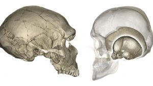 Scientists Discover the Reason for an Elongated Human Brain
